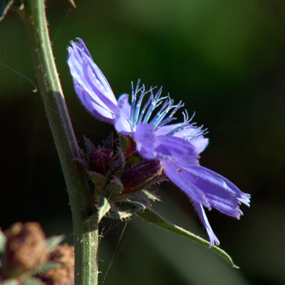 cykoria podróżnik kwiat