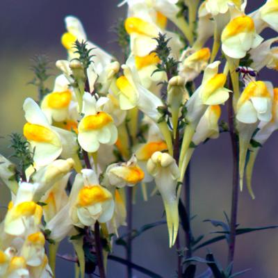 kwiaty lnicy pospolitej